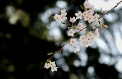 Sakura in Spring season of Japan. Sakura blossom in Spring season of Japan Royalty Free Stock Photo