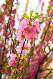 Sakura in spring time Royalty Free Stock Photo
