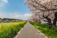 Sakura strona rzeka i przejście Zdjęcie Royalty Free