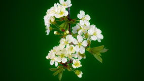 Sakura su verde video d archivio