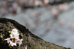Sakura sul circuito di collegamento di albero Immagine Stock Libera da Diritti