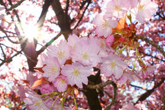 Sakura and sun Stock Photo