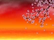 Sakura at Sunset Time Stock Photos