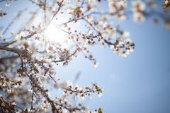 Sakura in the sunshine Royalty Free Stock Photo