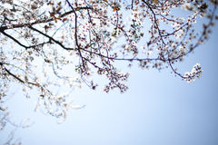 Sakura in the sunshine Royalty Free Stock Images