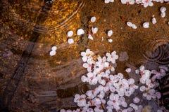 Sakura sur l'eau Image libre de droits