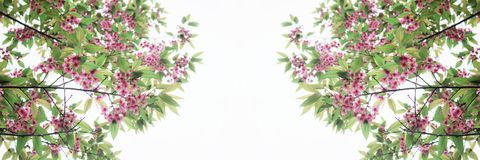 Sakura sur le fond blanc Photo stock
