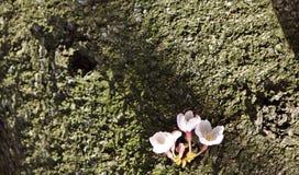 Sakura sur le joncteur réseau d'arbre Image libre de droits