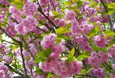 Sakura tło obrazy royalty free