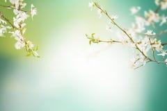 Sakura tło Fotografia Royalty Free