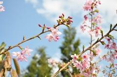 Sakura at Taichung Stock Photos