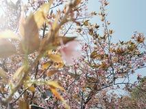 Sakura Tailândia Fotografia de Stock