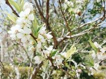 Sakura Tailândia Imagem de Stock Royalty Free