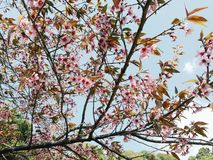 Sakura Tailândia Foto de Stock