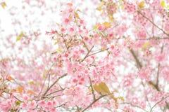 Sakura tailandés Fotografía de archivo