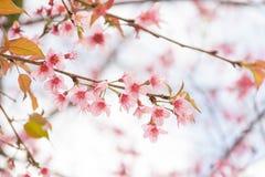 Sakura tailandés Fotografía de archivo libre de regalías