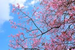 Sakura tailandês na estação do inverno no parque nacional de Inthanon, Chaingma Fotografia de Stock