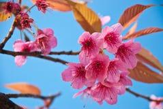 Sakura tailandese. Fotografia Stock