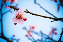 Sakura tailandese Immagine Stock
