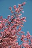 Sakura tailandese immagini stock