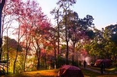 Sakura tailandese fotografia stock libera da diritti