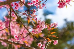 Sakura in Tailandia immagine stock