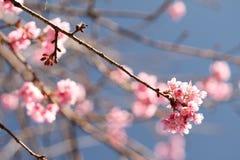 Sakura in Tailandia immagine stock libera da diritti