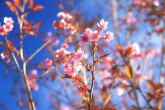 Sakura Tailandia Fotografie Stock