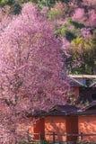 Sakura Tajlandia lub Czereśniowego okwitnięcia kwiatu kwiat na małej wioski górze Przed drewnianym domem w północy Tajlandia, Zdjęcia Stock