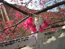 The Sakura in Taoyuan Taiwan. Lock screen image and the desktop background or wallpaper royalty free stock image