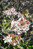 sakura TARGET215_1_ drzewo Zdjęcia Royalty Free