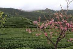 Sakura in the tea gardens Stock Photos