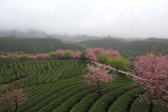Sakura in the tea gardens, rain Royalty Free Stock Images
