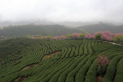 Sakura of tea gardens Royalty Free Stock Photography