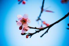 Sakura thaï Image libre de droits