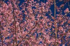 Sakura thaïlandais image libre de droits