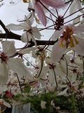Sakura Thai flower. Life style thai nature stock photography
