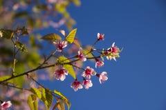 Sakura Thailand Stockfotos