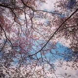 Sakura Thailand Lizenzfreie Stockfotografie