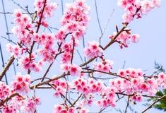 Sakura Of Thailand Imágenes de archivo libres de regalías