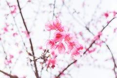 Sakura Of Thailand Fotos de archivo libres de regalías