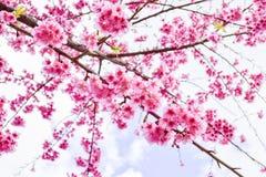 Sakura Of Thailand Foto de archivo libre de regalías