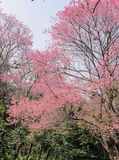 Sakura Of Thailand Photo stock