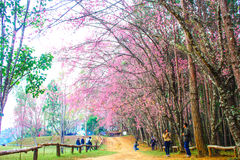 Sakura Thailand Stock Afbeelding