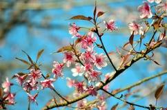 Sakura Thailand zdjęcie royalty free