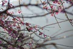 Sakura Thailand Royalty-vrije Stock Foto