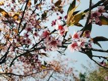 Sakura thailand Arkivbild