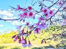 Sakura Thailand Royalty-vrije Stock Fotografie