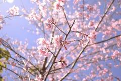 Sakura Thailand Obraz Stock