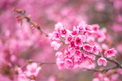 Sakura in Thailand Stock Photography